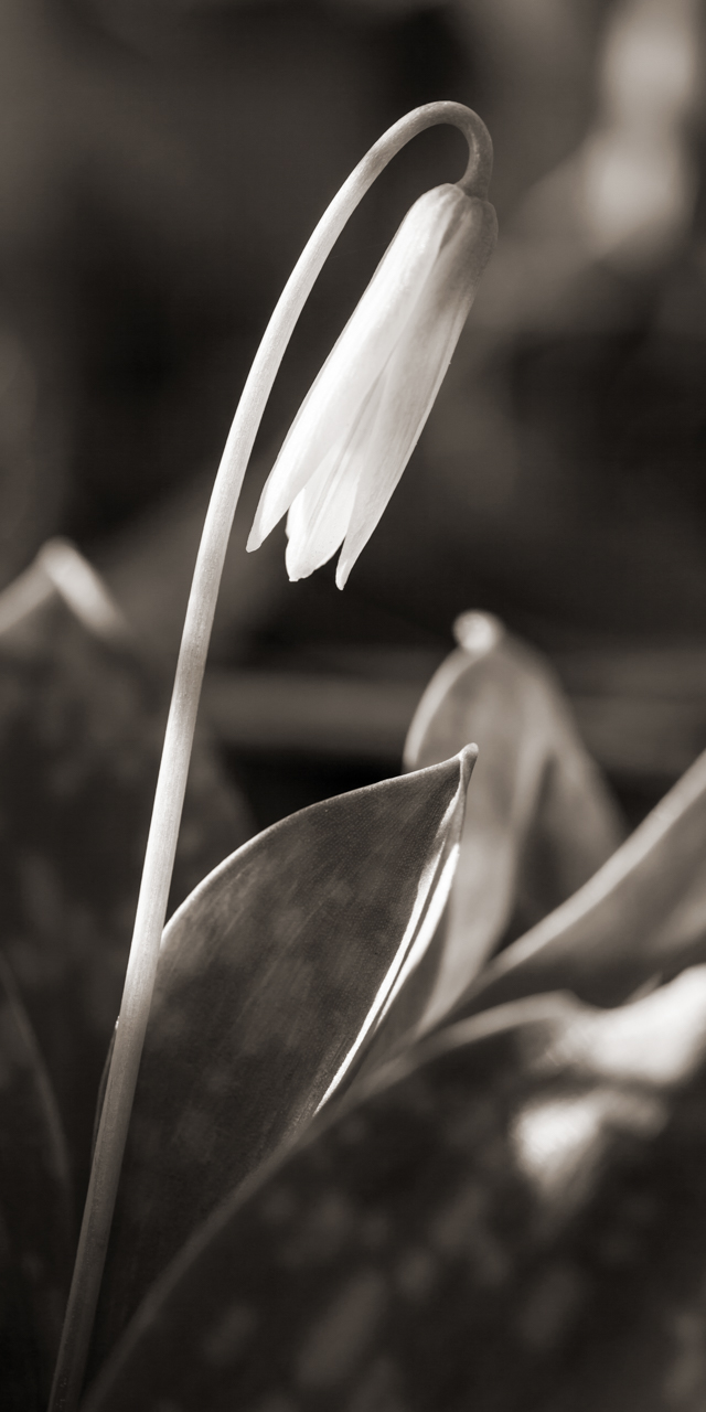 Trout Lily #1