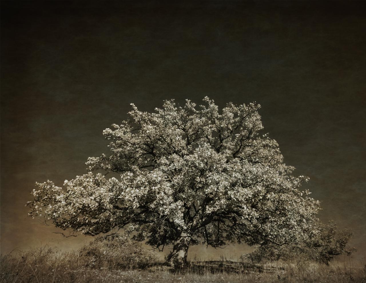Martin's Oak.jpg