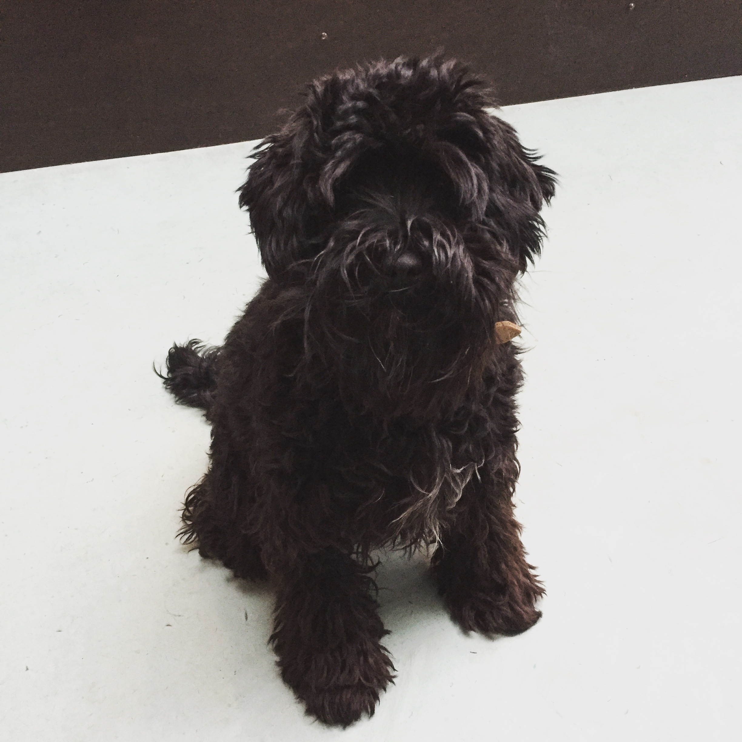 Lily Rose - Schnoodle