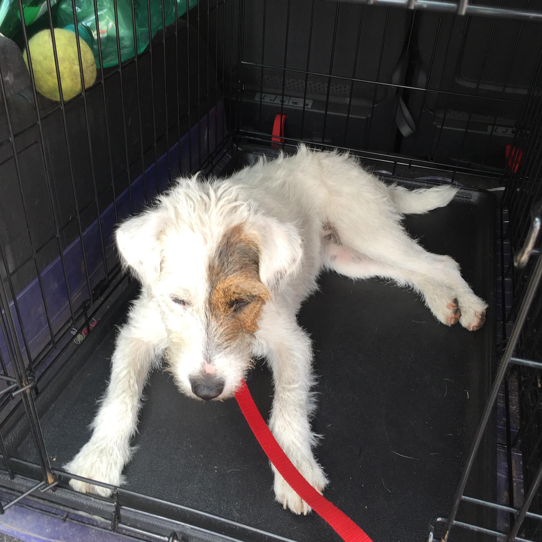 Mollie the Parson's Terrier