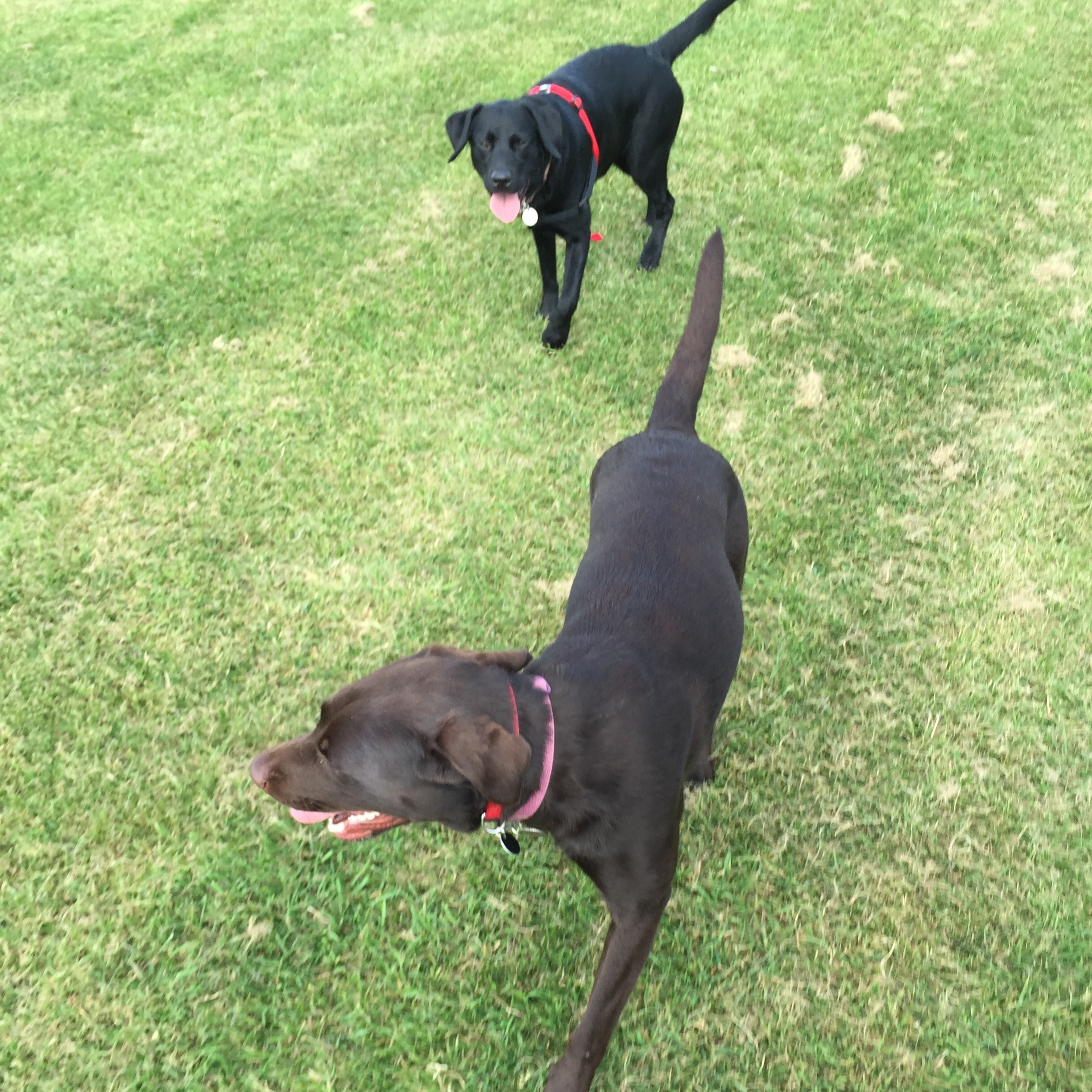 Polly & Harper - Lab sisters