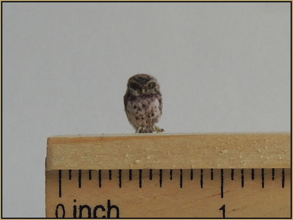 Perching little owl