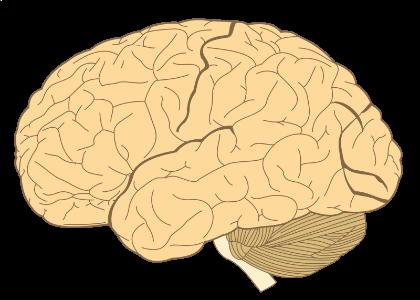 800px-Human-brain.SVG