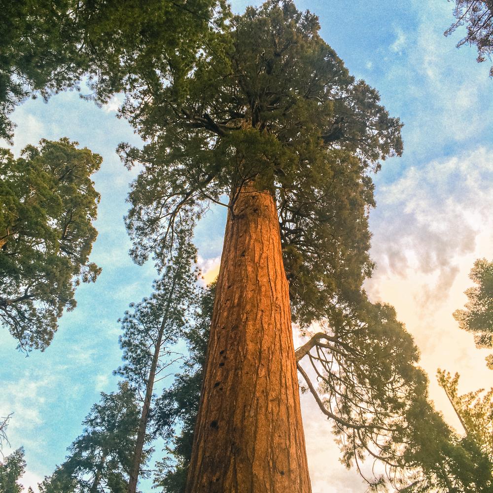 Sequoia Forest_Odaniel_IG (13 of 32).jpg
