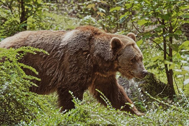 """As Messenger crested a ridge, he came face-to-face with the bear, an encounter that surprised both of them. The grizzly was threatened by Messenger's presence and tried to intimidate him with a few bluff charges"" https://buff.ly/2NVjdDC"