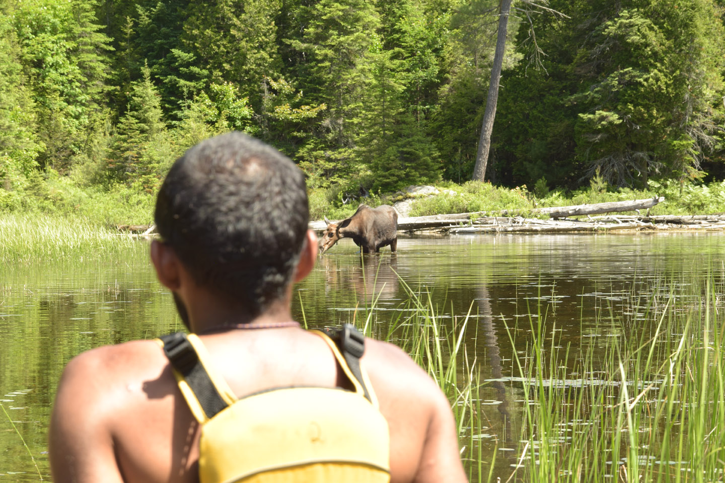 Cyril Francis coming across a moose in Algonquin Park