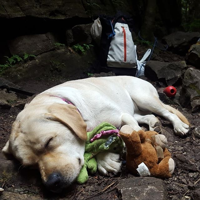 Happy puppies, crazy heel hooks, extreme stickclips, and a bag full of picked up trash. It was calling to be a crappy rainy day; we ended up dry and the only ones at the crag. What a lucky way to run a Gym to Crag course. Great group and great fun! At the end of it all, little Cedar conked out in the car having tired herself out playing outside.  @overhangadventures @mountainhardwear @climbbasecamp @arcteryxyorkdale @rockrespect #climbing_pictures_of_instagram #sportclimbing #discoverON #climbing #rockclimbing #mountainhardwear #goplayoutside #yourstodiscover  #iloveclimbing #ontarioclimbing #rockrespect #womenofclimbing #cragpact #arcteryxyorkdale #puppies #climb #labradorretriever @nyrocalabradors