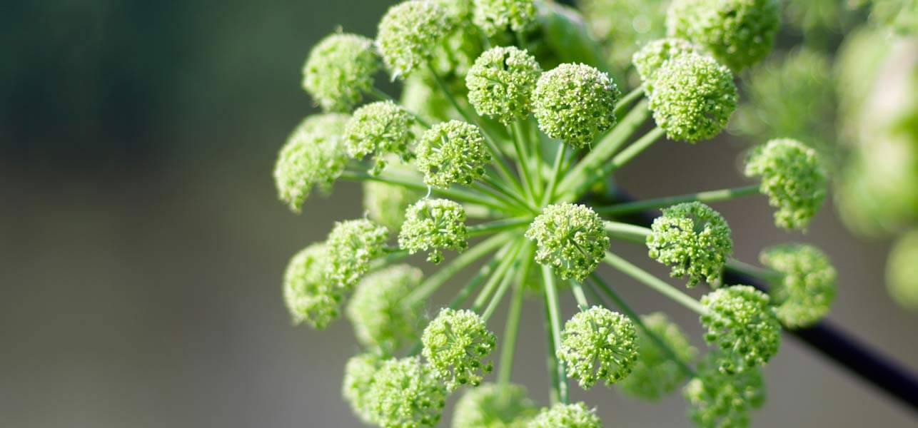 6-Surprising-Benefits-Of-Angelica-Herb-For-Skin-Hair-And-Health.jpg