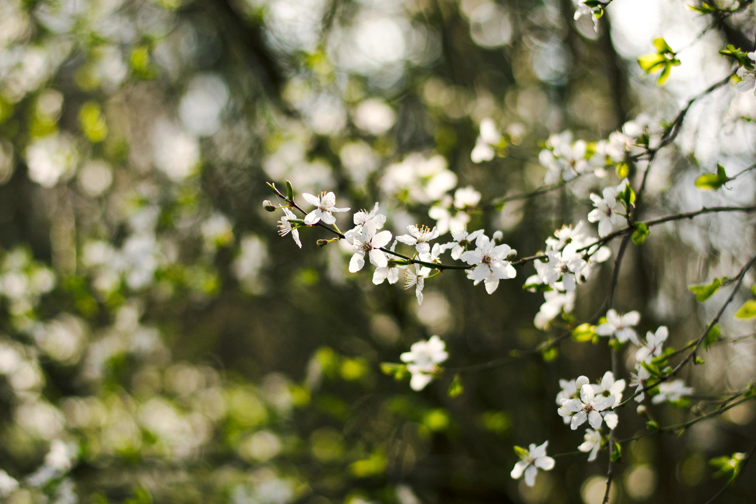 White blossoms.jpg