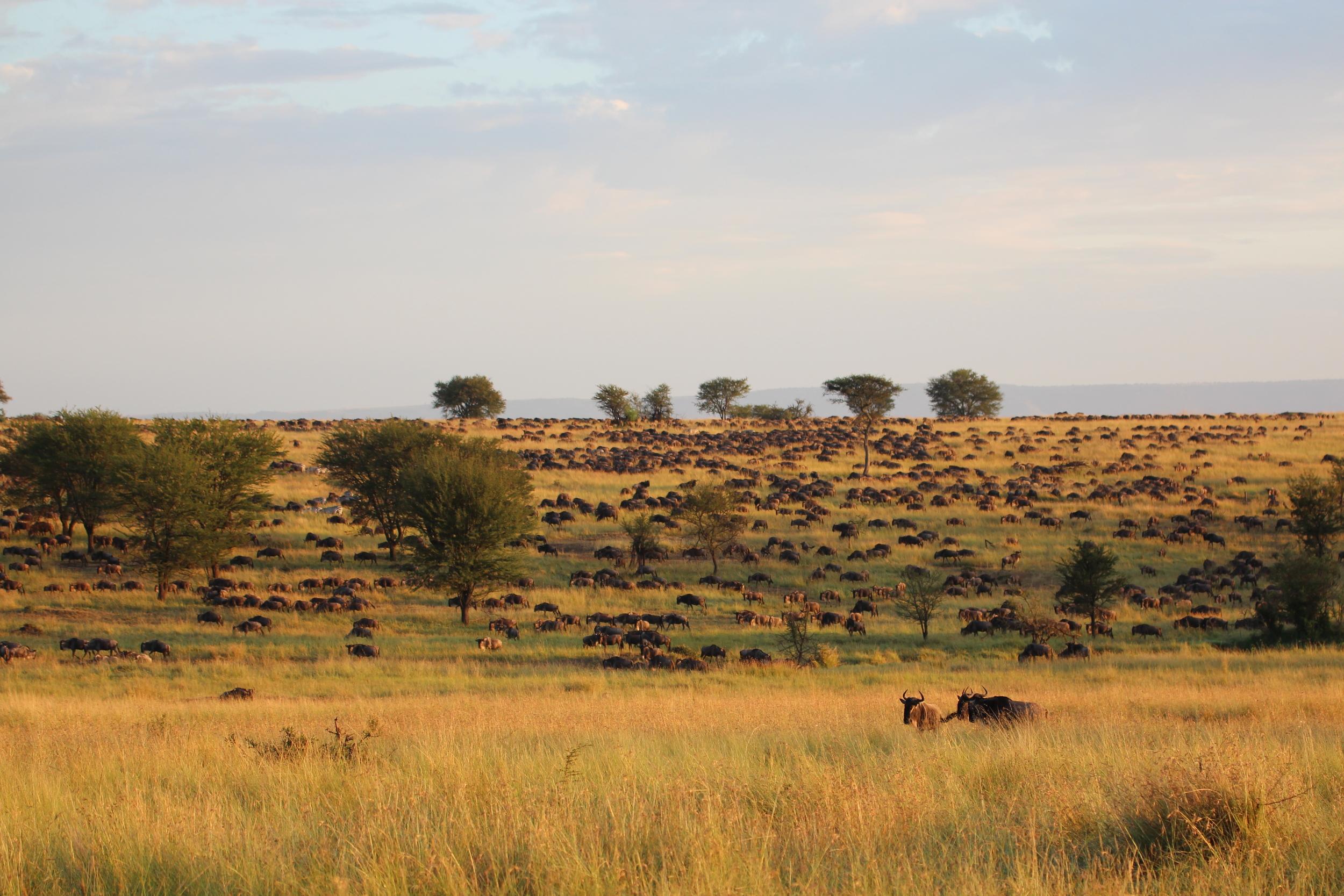 The Wildebeest Migration slow grunting their way to Northern Serengeti.