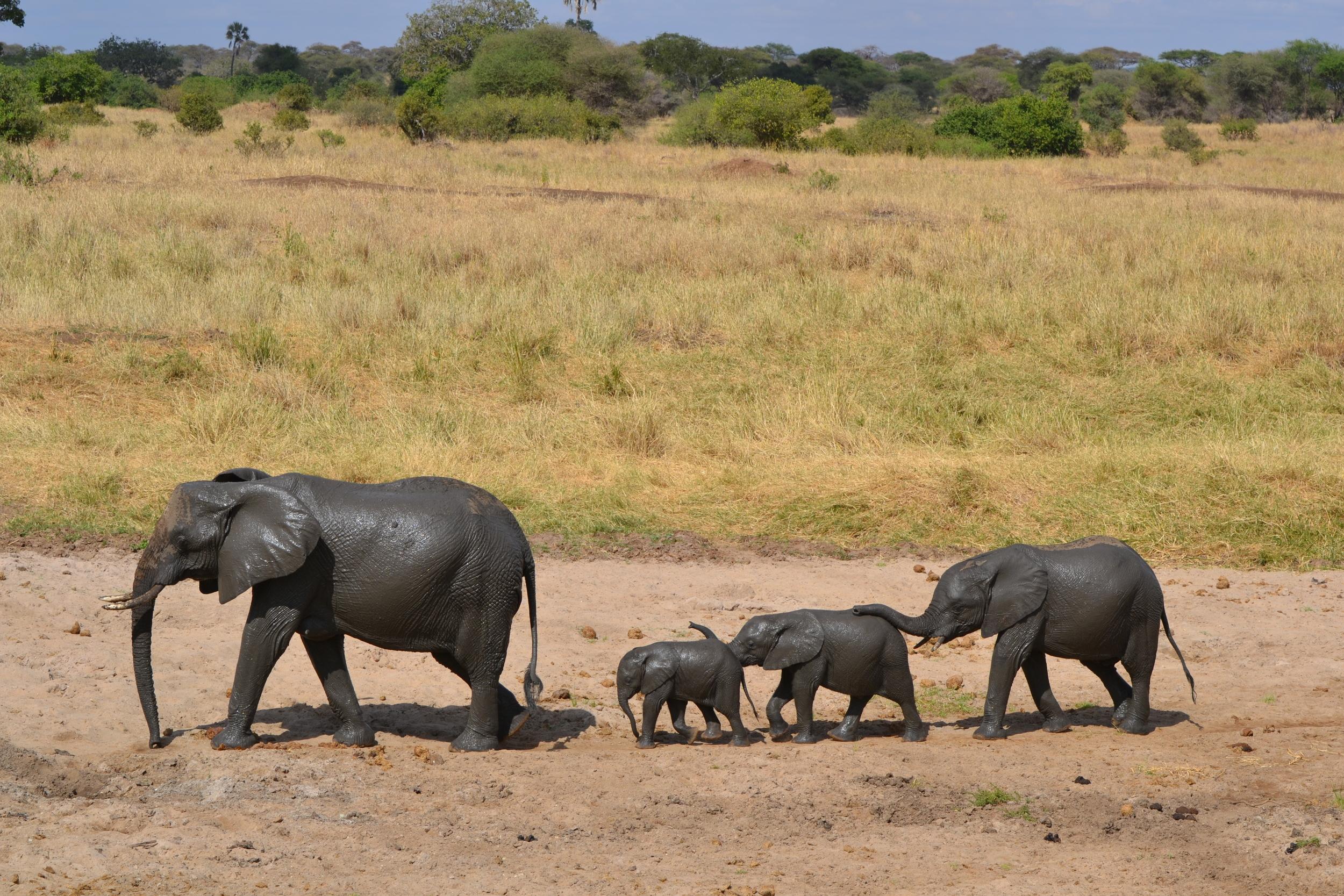 Elephant family on Safari after a nice mud bath.