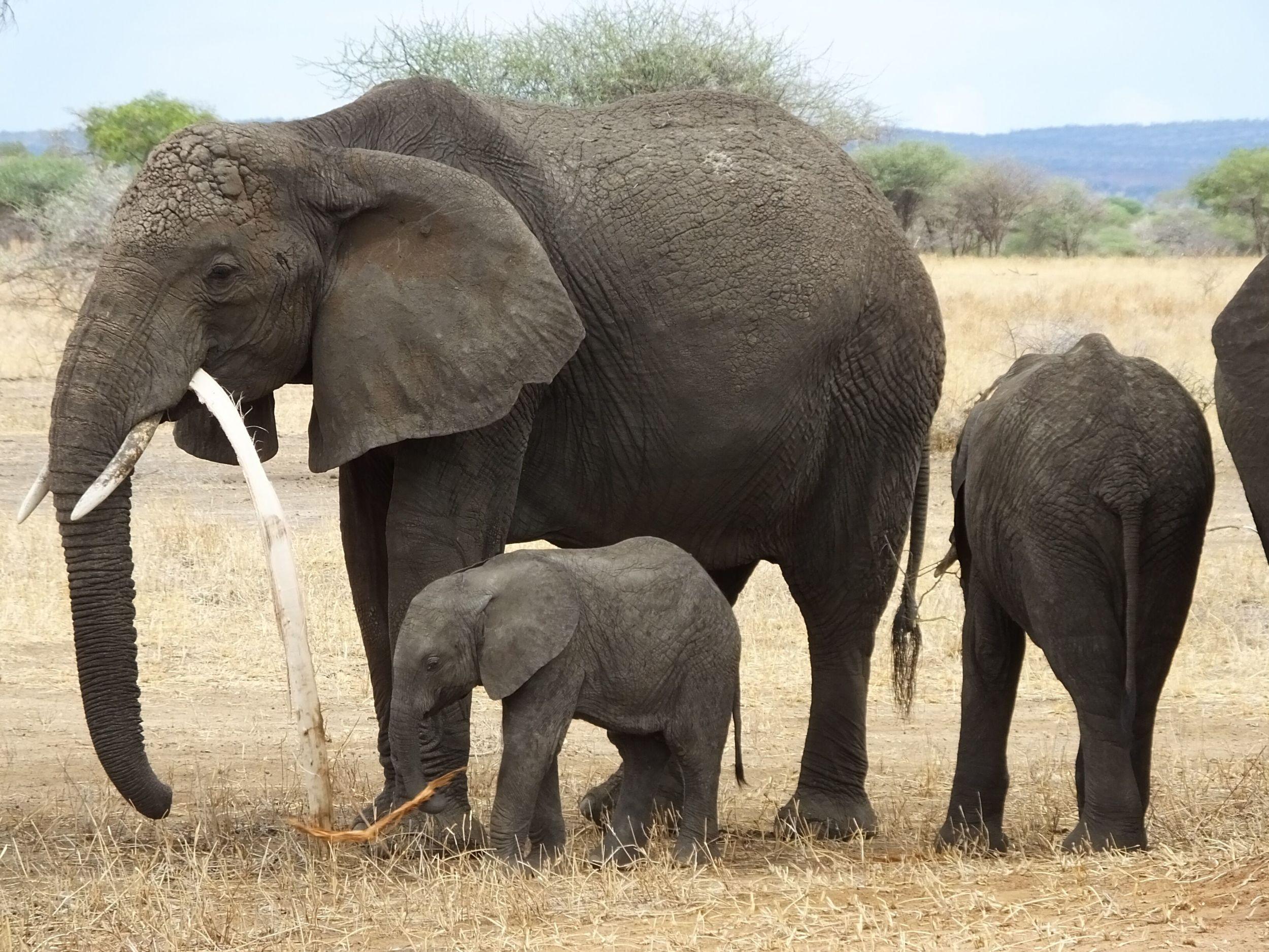 Elephants in Tarangire National Park.