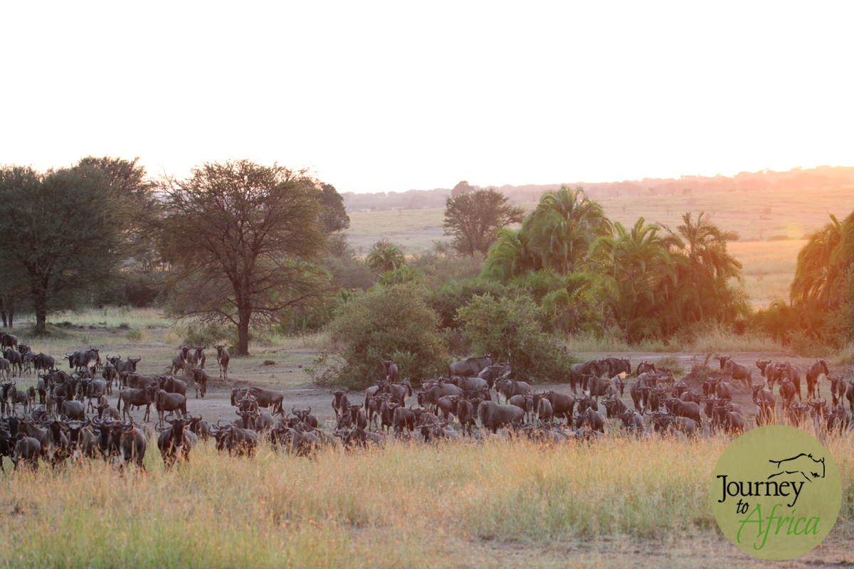 The morning sun spraying gold over Serengeti. Here is a small herd having just crossed the river.