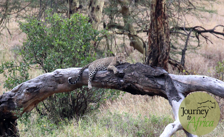 A stunning leopard spotted resting on a branch.