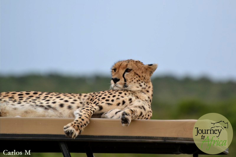 Cheetah on Safari Vehicle
