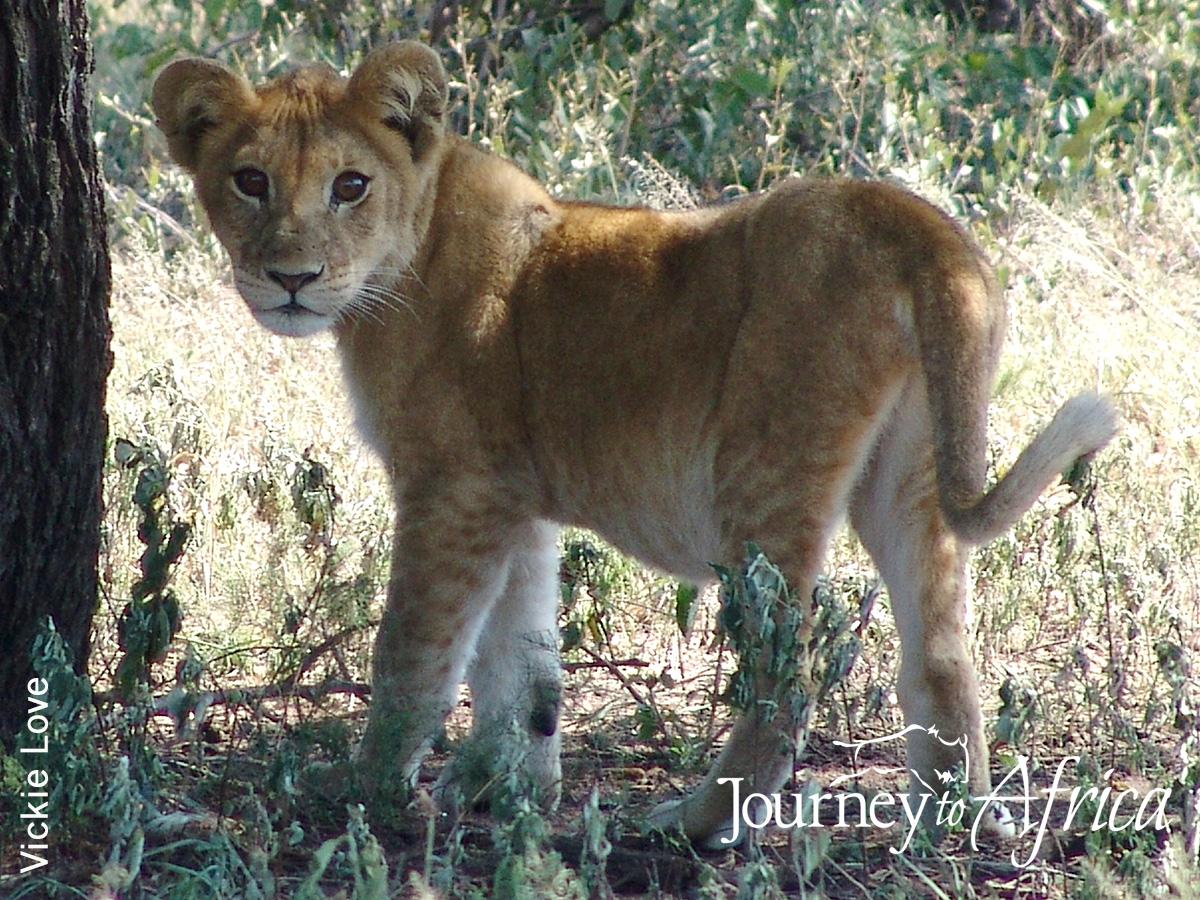 lion tanzania safari