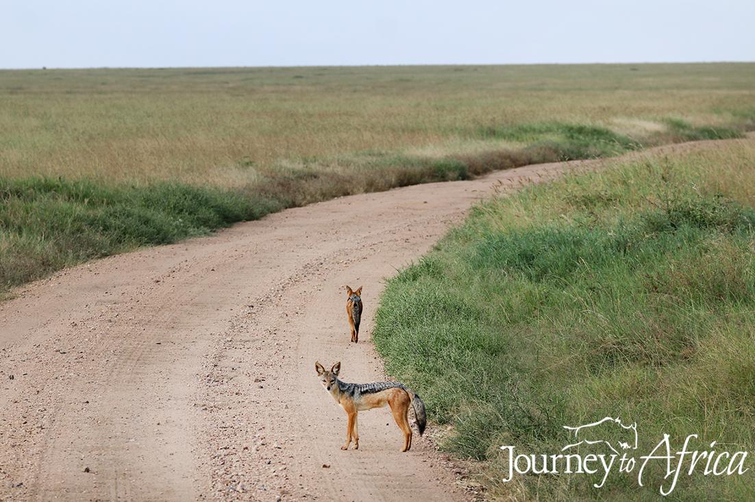 jackal serengeti tanzania
