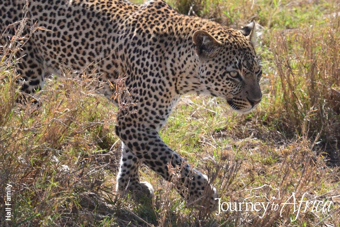 leopard_tanzania