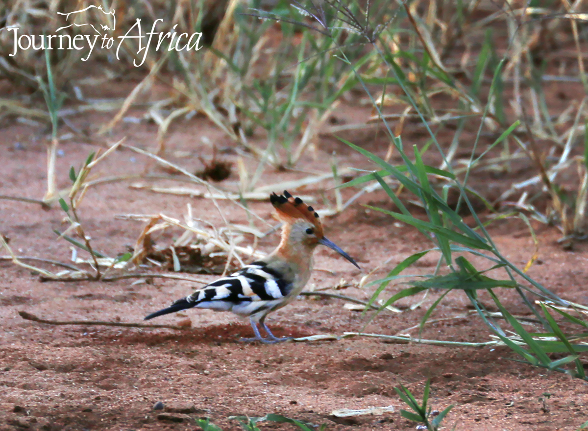 hoopoe on safari