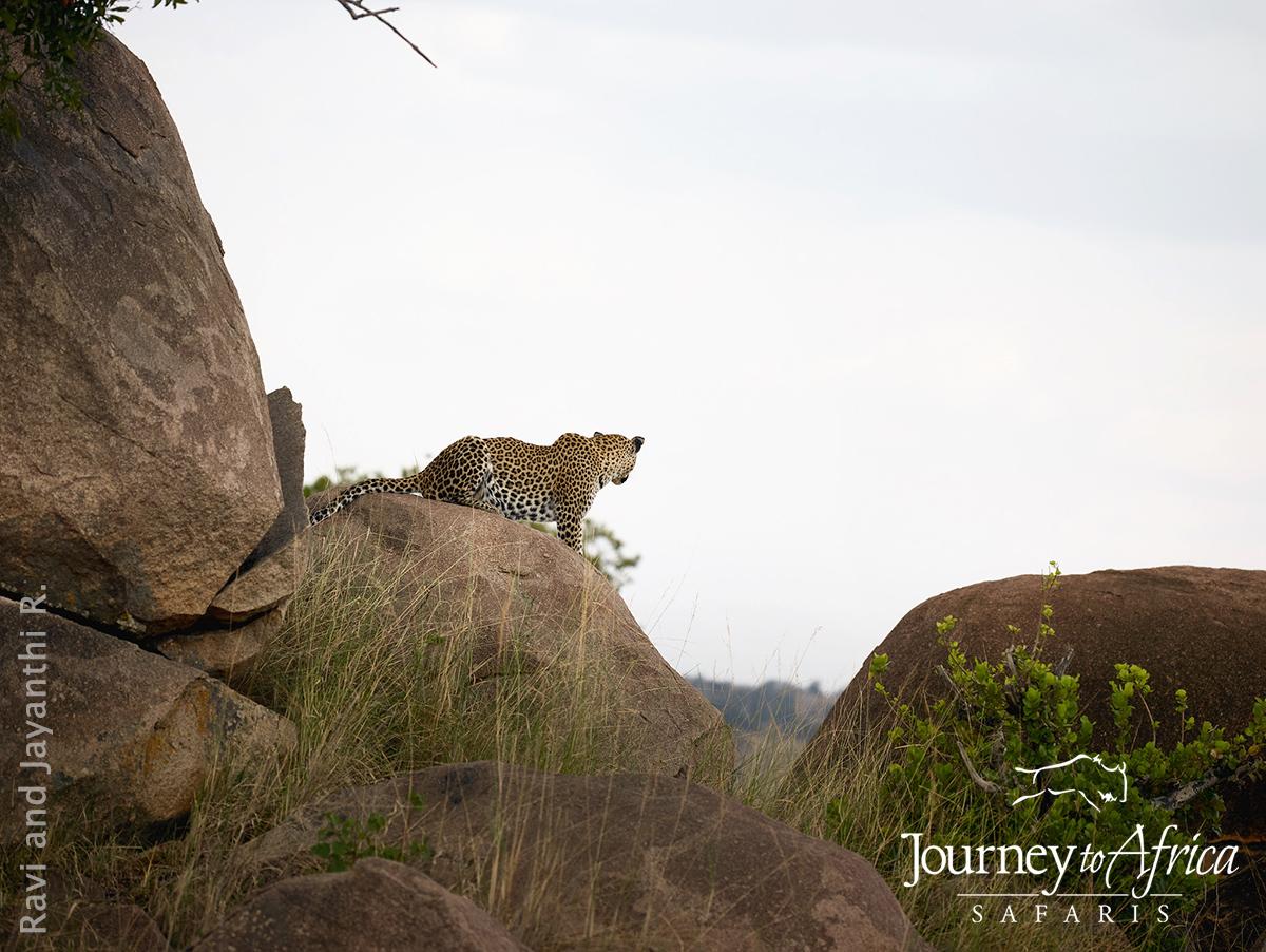 leopard_kopjes