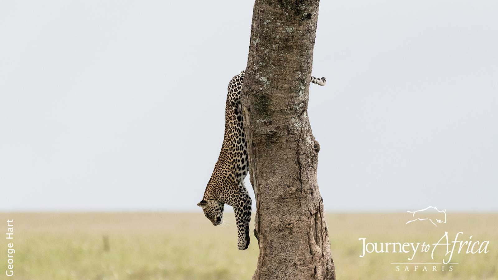 leopard_down