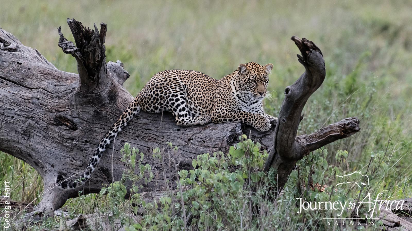 leopard_tree