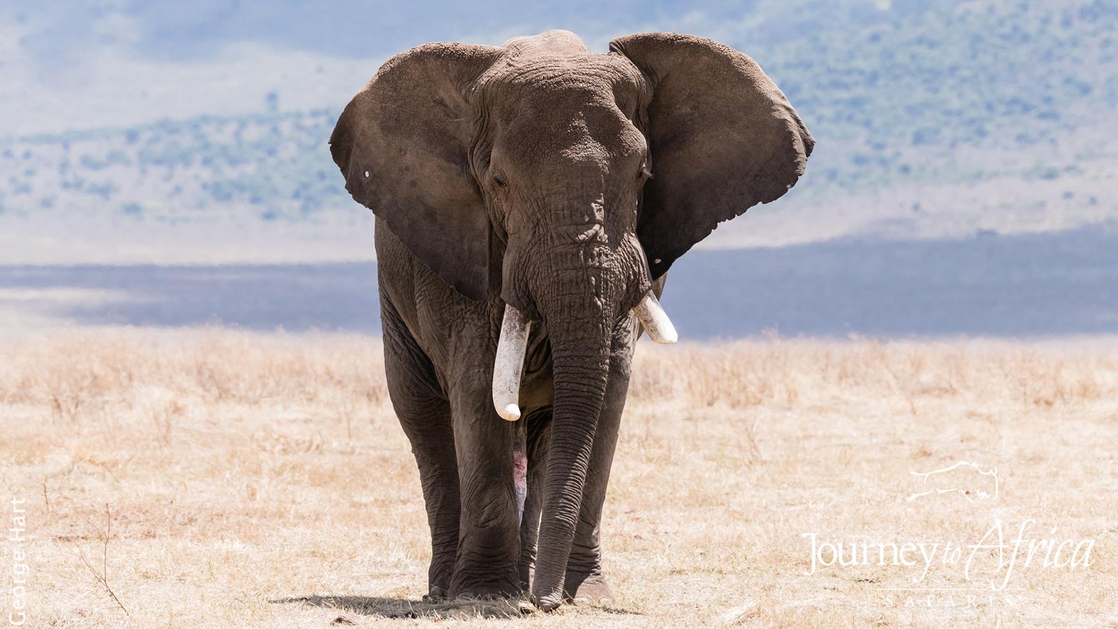 elephant_bull