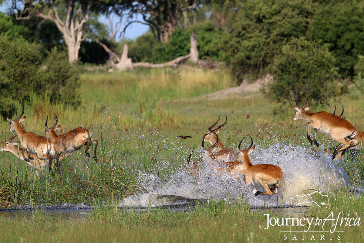 The beautiful Red Lechwe jumping the Linyanti Swamps from Kwando Lebala.