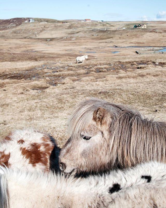 Shetland this week🐴