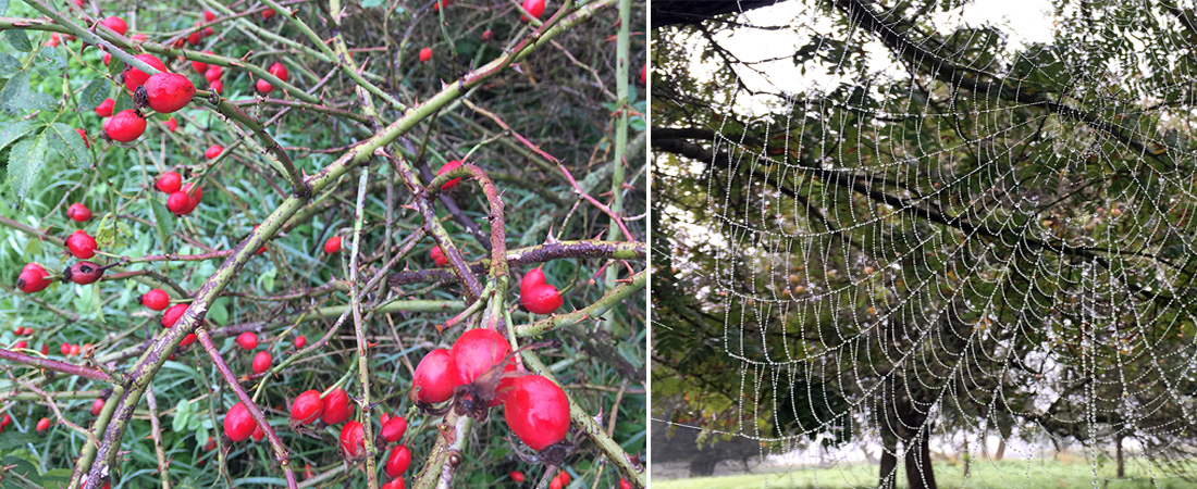 Bushes of rose hips or a delicate spider's web…