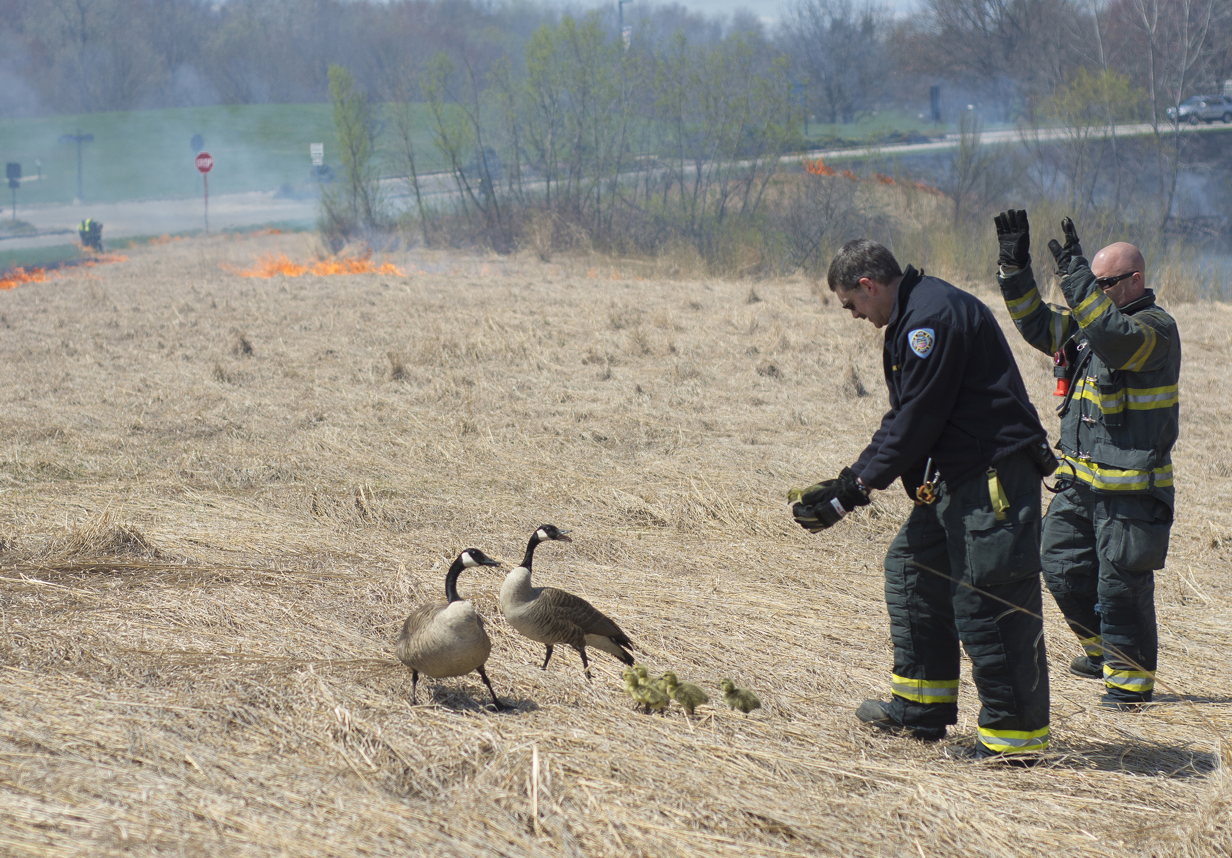 Two firefighters from the Kent Fire Department help a family of geese out of the prairie grass being burned behind the Student Recreation and Wellness Center on April 28, 2015. The controlled prairie fire is done annually by the fire department to naturally control the growth of the prairie grasses.