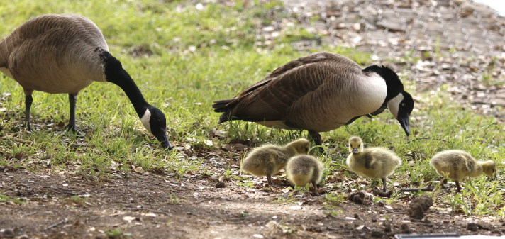 Newborn Canada geese explore their new home by the lake at Richland in April.