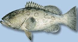 gag-grouper2.jpg