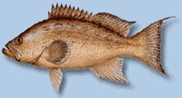 scamp-grouper2.jpg