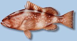 red-grouper2.jpg