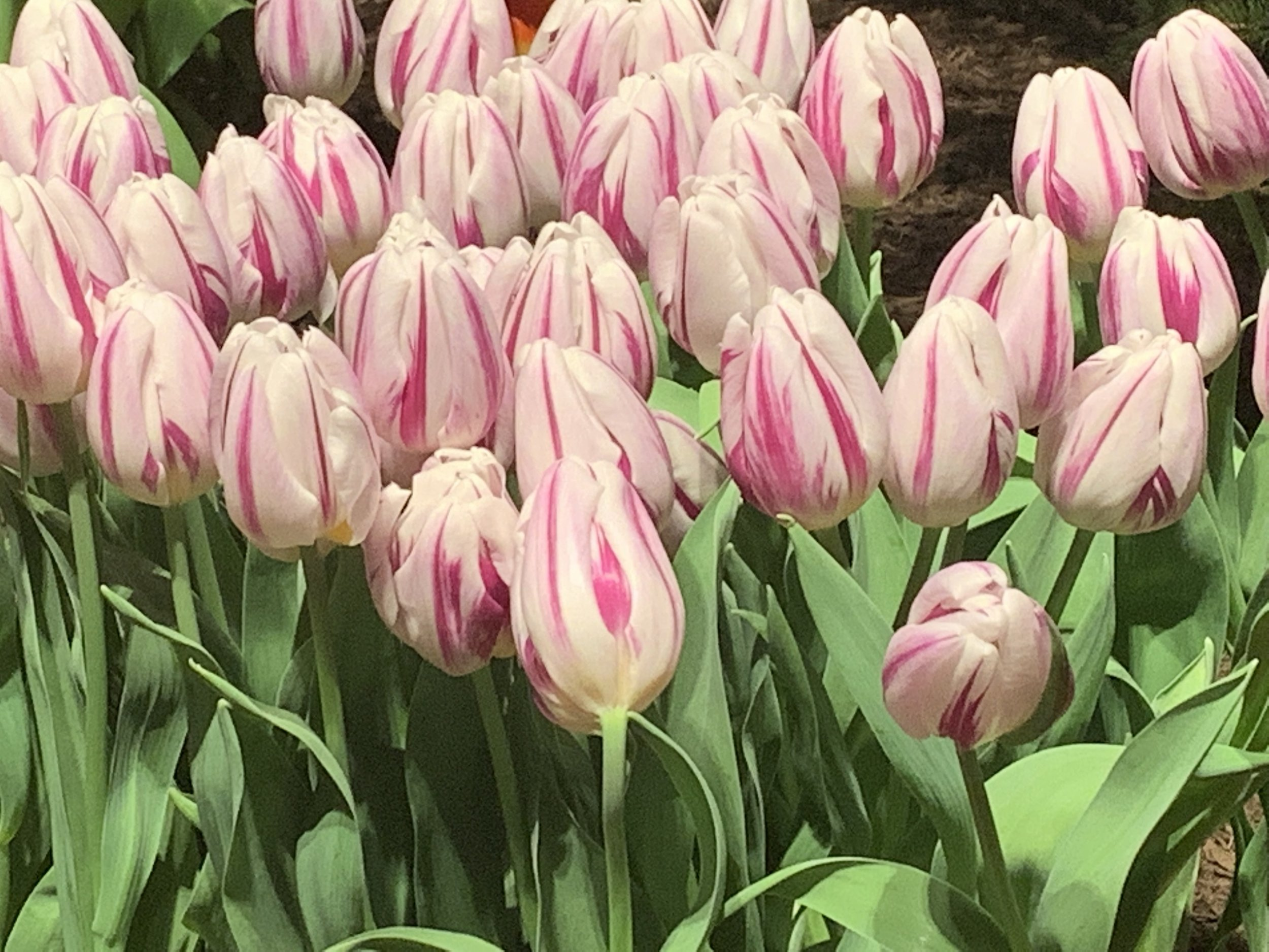 Pink tulips are my favorite spring flower. Seeing them annually at the Chicago Flower & Garden Show makes me smile.