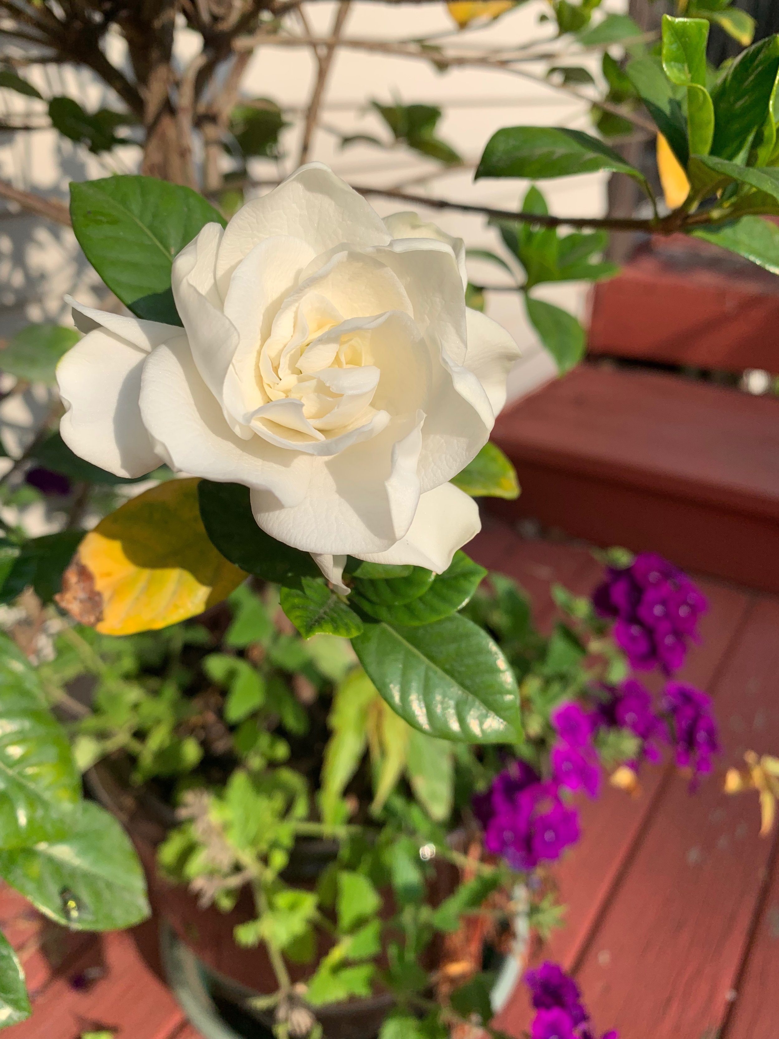 Although I did go for my morning walk today, my day 11 of  #30daynaturechallenge  image is from my own backyard. My pretty gardenia, given to me this spring by my mother, bloomed her fragrant flowers early, then stopped and I thought that was it for this year. I'd bring her indoors before the first frost and hope she blooms next year. I was lucky because yesterday, she graced us with one more bloom and it smells glorious.