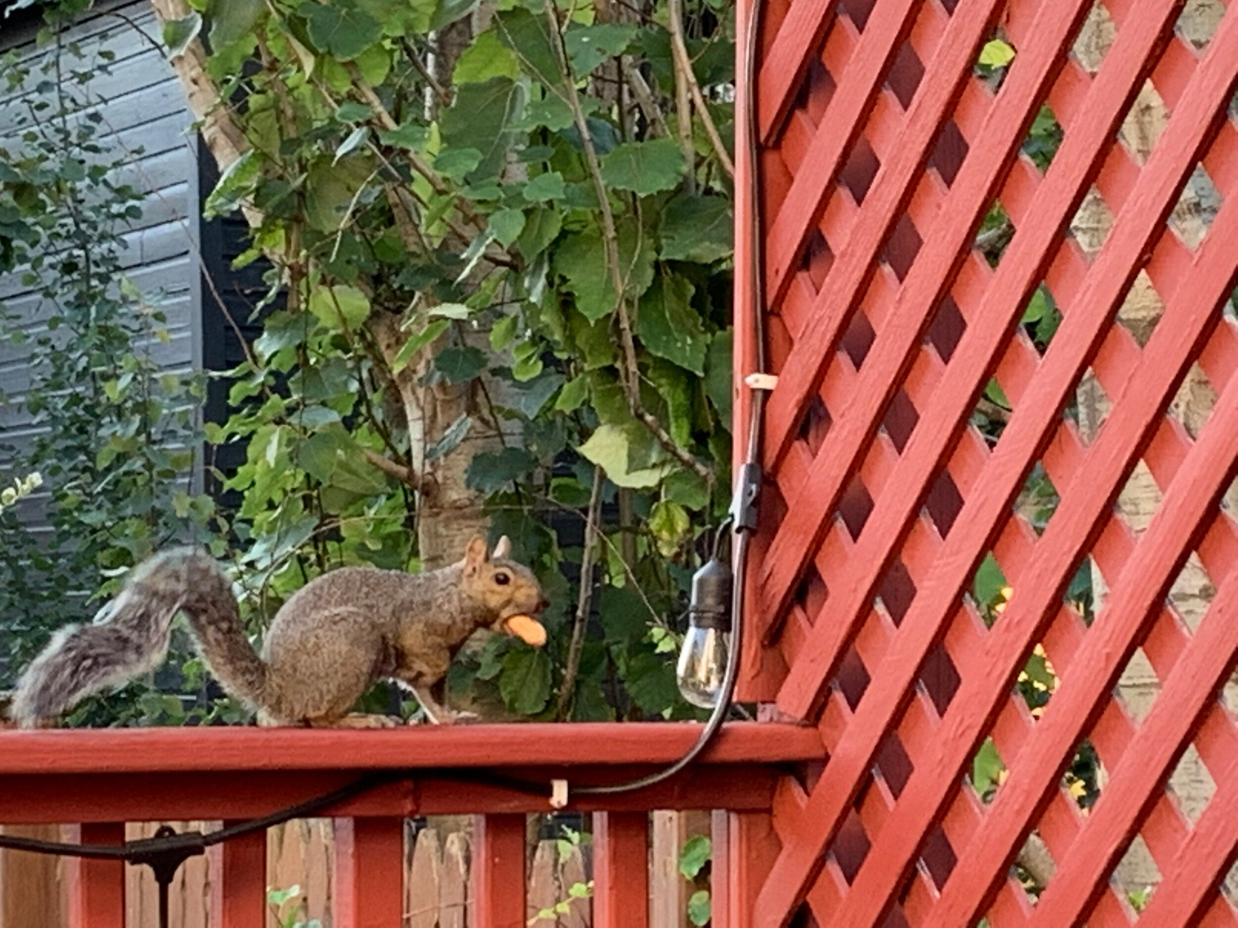 This squirrel and I have been going at it for weeks. My husband is starting to get concerned. 🐿 better stay away from my 🍅 plants because they're on their last days! 😭  #30daynaturechallenge