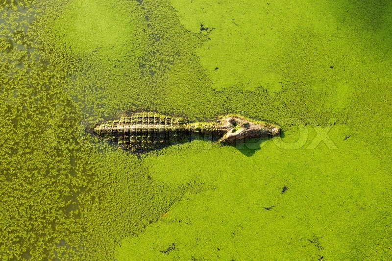 6117556-alligator-in-wetland-pond-covered-with-duckweed-and-swimming.jpg