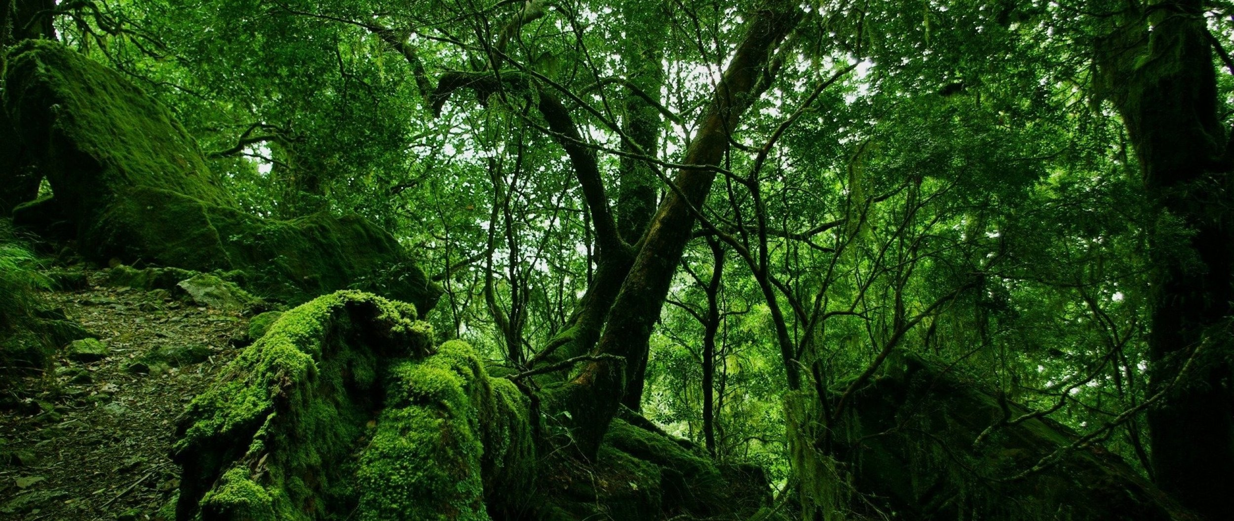 wood_trees_thickets_green_moss_vegetation_bushes_stones_leaves_60780_2560x1080.jpg