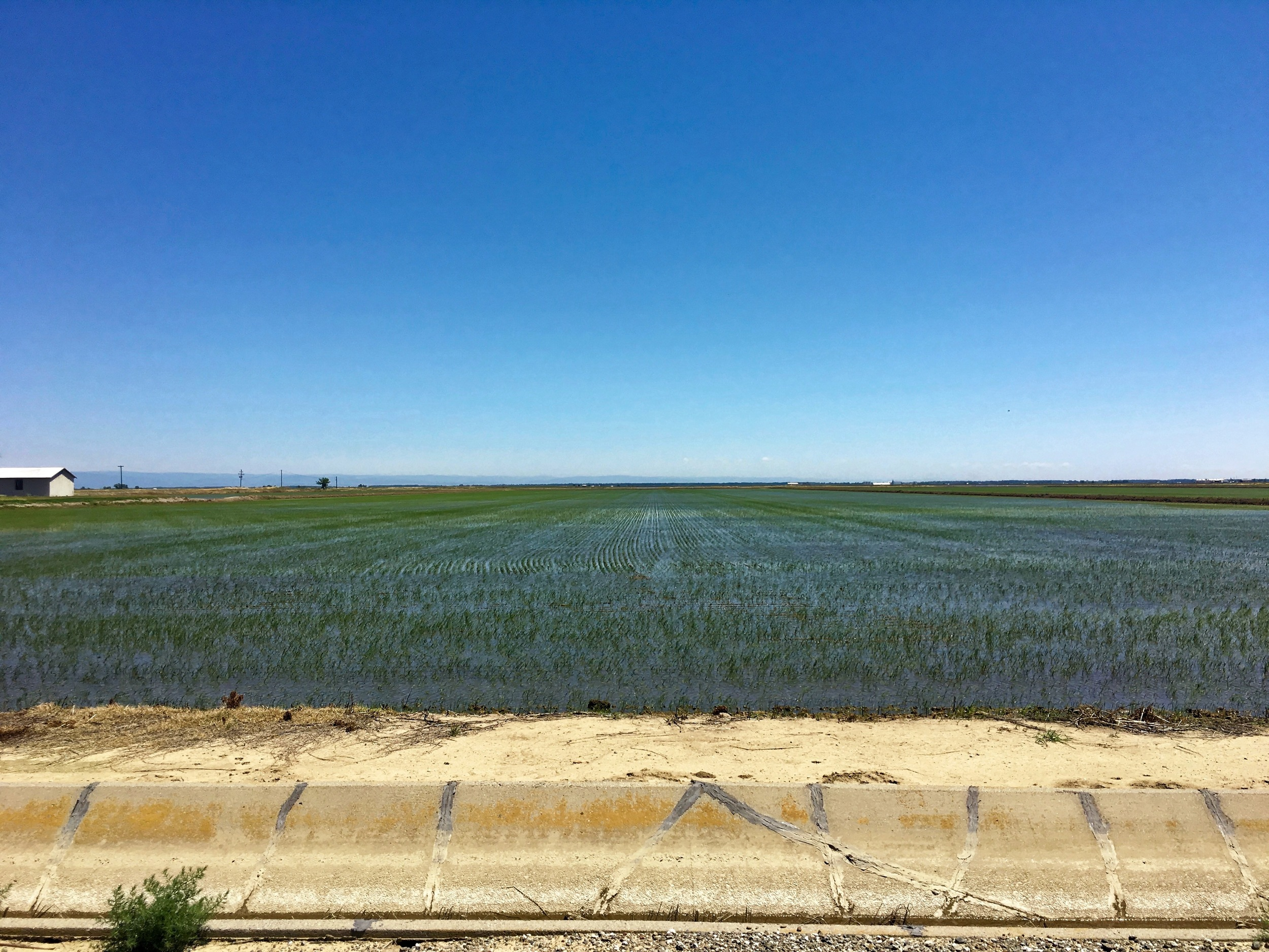 One of many rice farms east of Chico in the Sacramento Valley. A great deal of water is diverted to the delta...