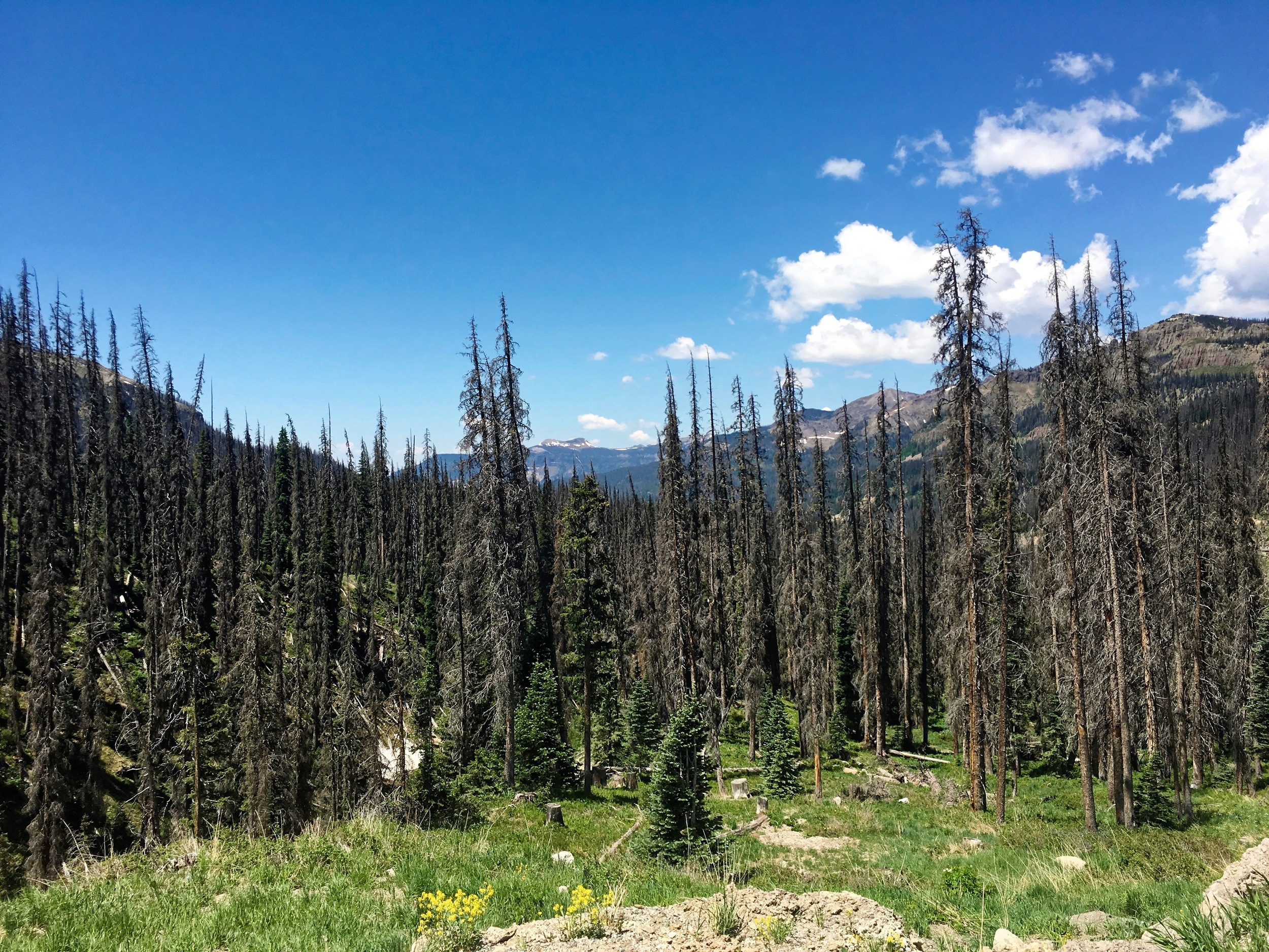 Beetle kill - another attribute of a warming climate, was particularly evident on the climb to Wolf Creek Summit.