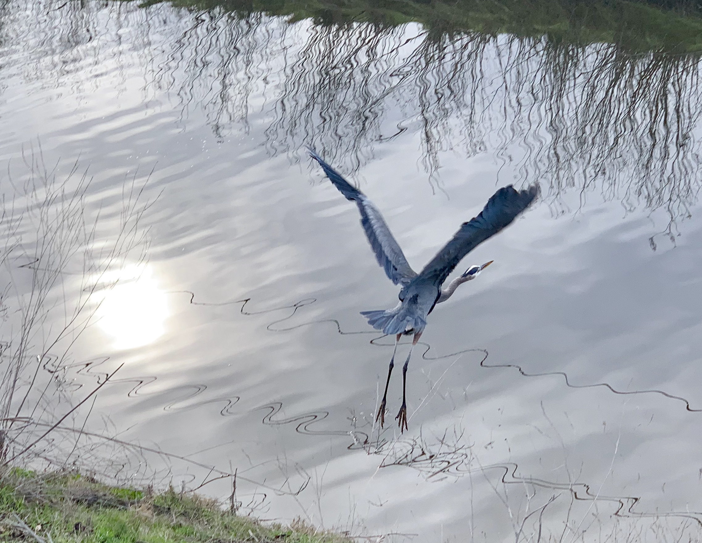 A Great Blue Heron takes flight.