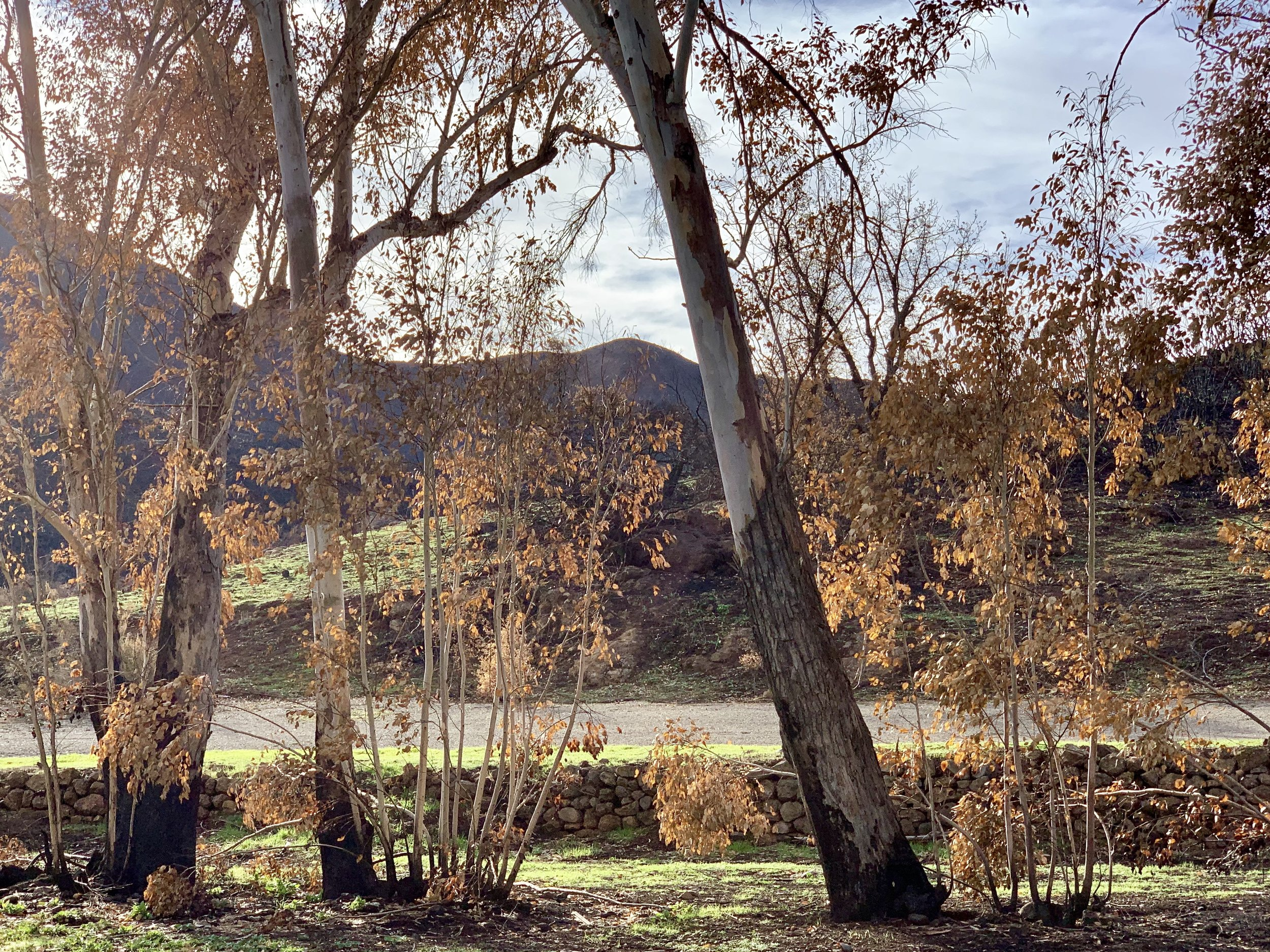 There's something beautiful about a fire area in recovery. Only 3 months after the fire, a hillside in the Santa Monica Mountains near Paramount Ranch makes a comeback.
