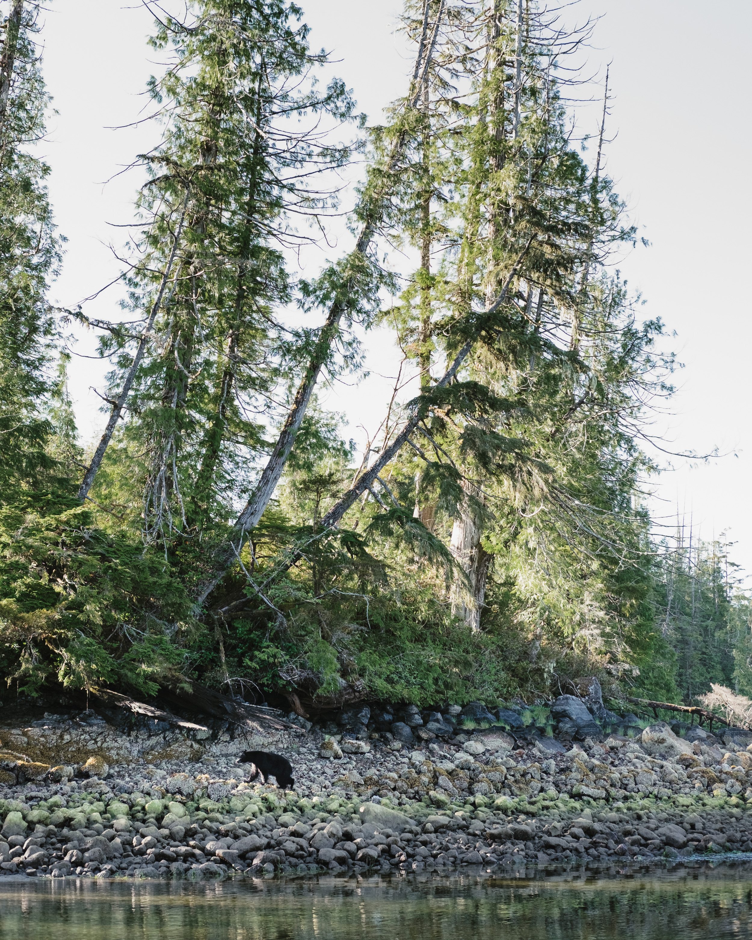 Black bear looking for breakfast on the Clayoquot Sound