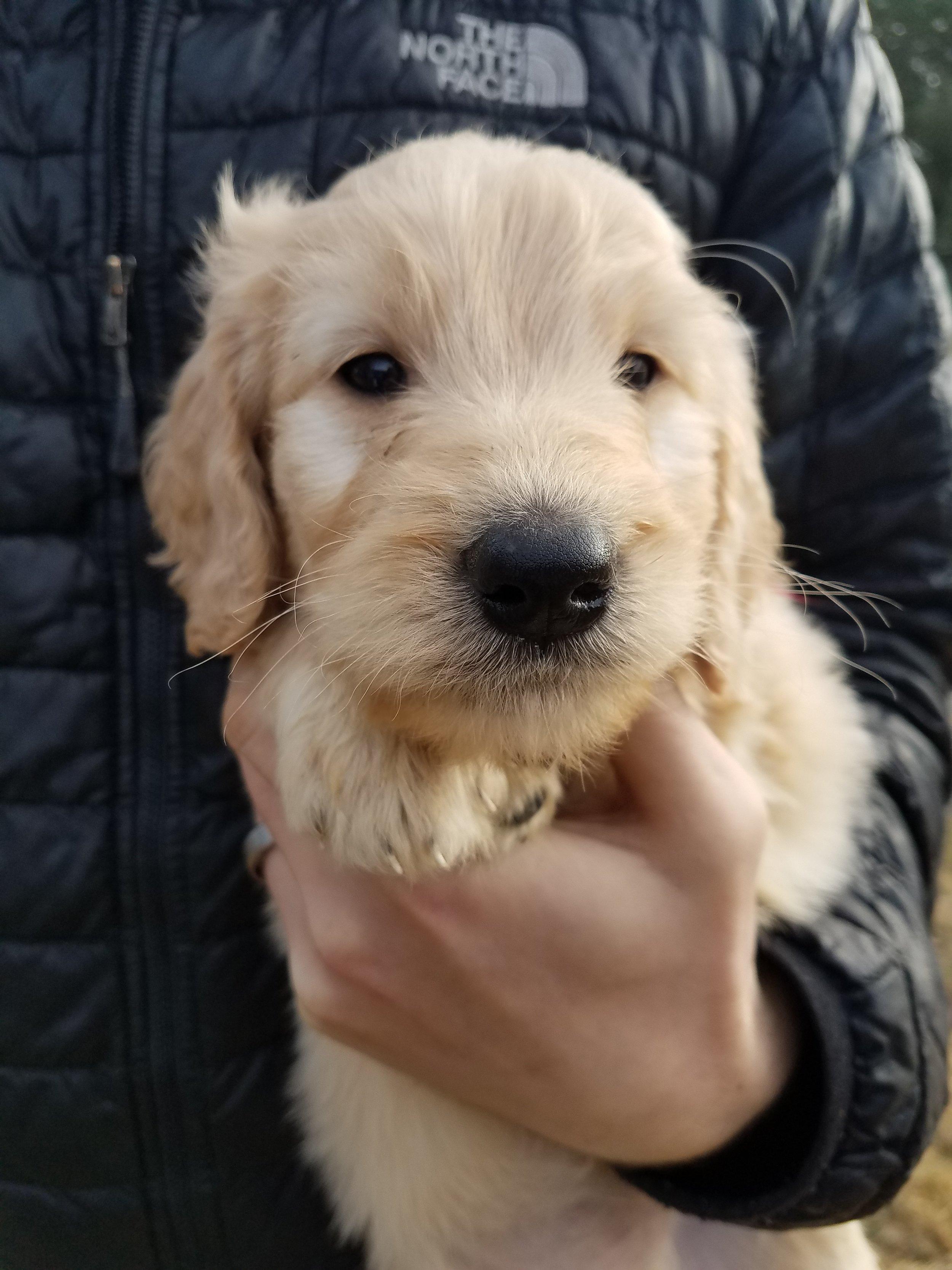 Golden Doodle Puppies For Sale Evergreen Doodlesfaqs