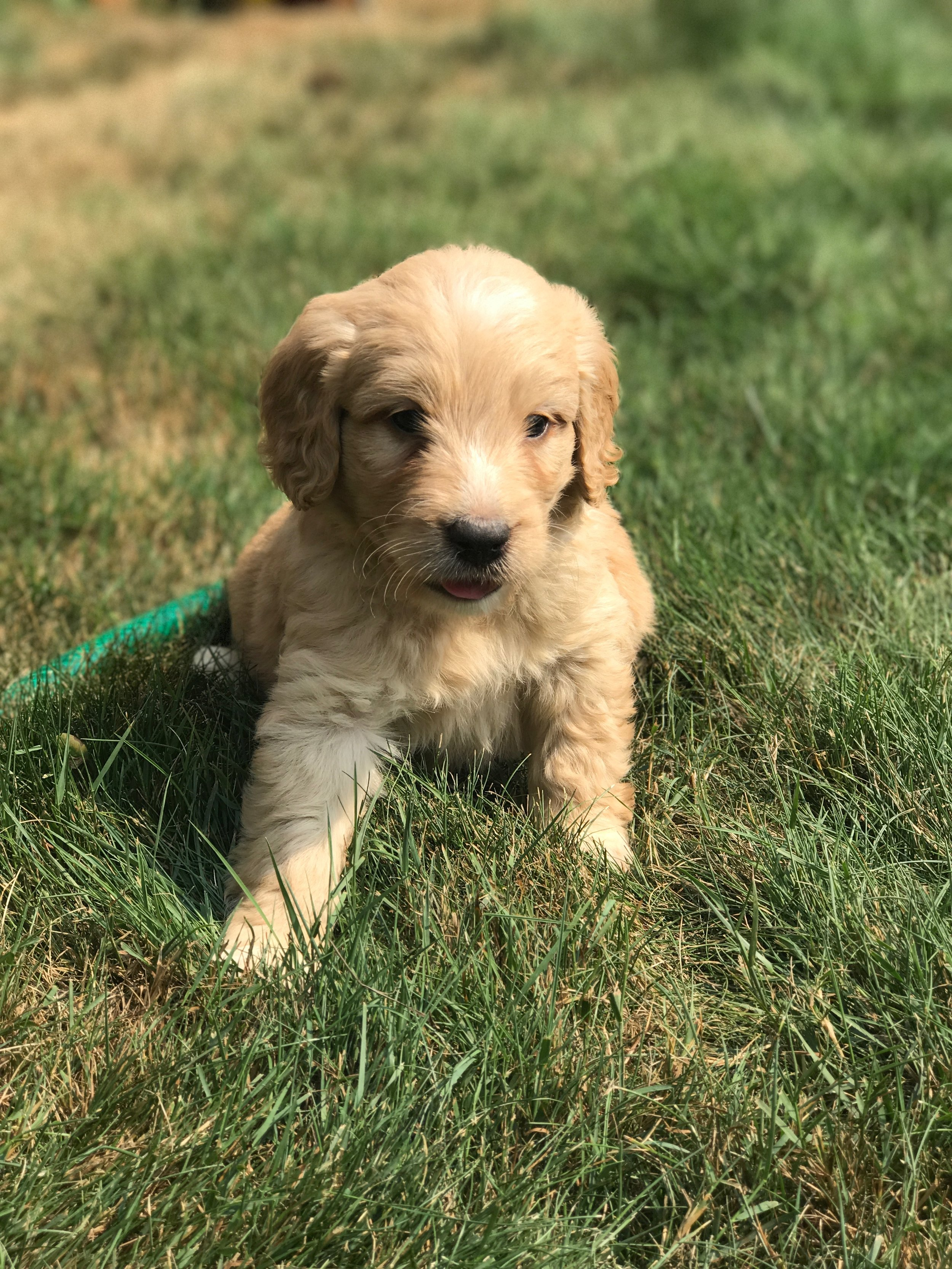 Golden Doodle Puppies For Sale Evergreen Doodlesfaqs