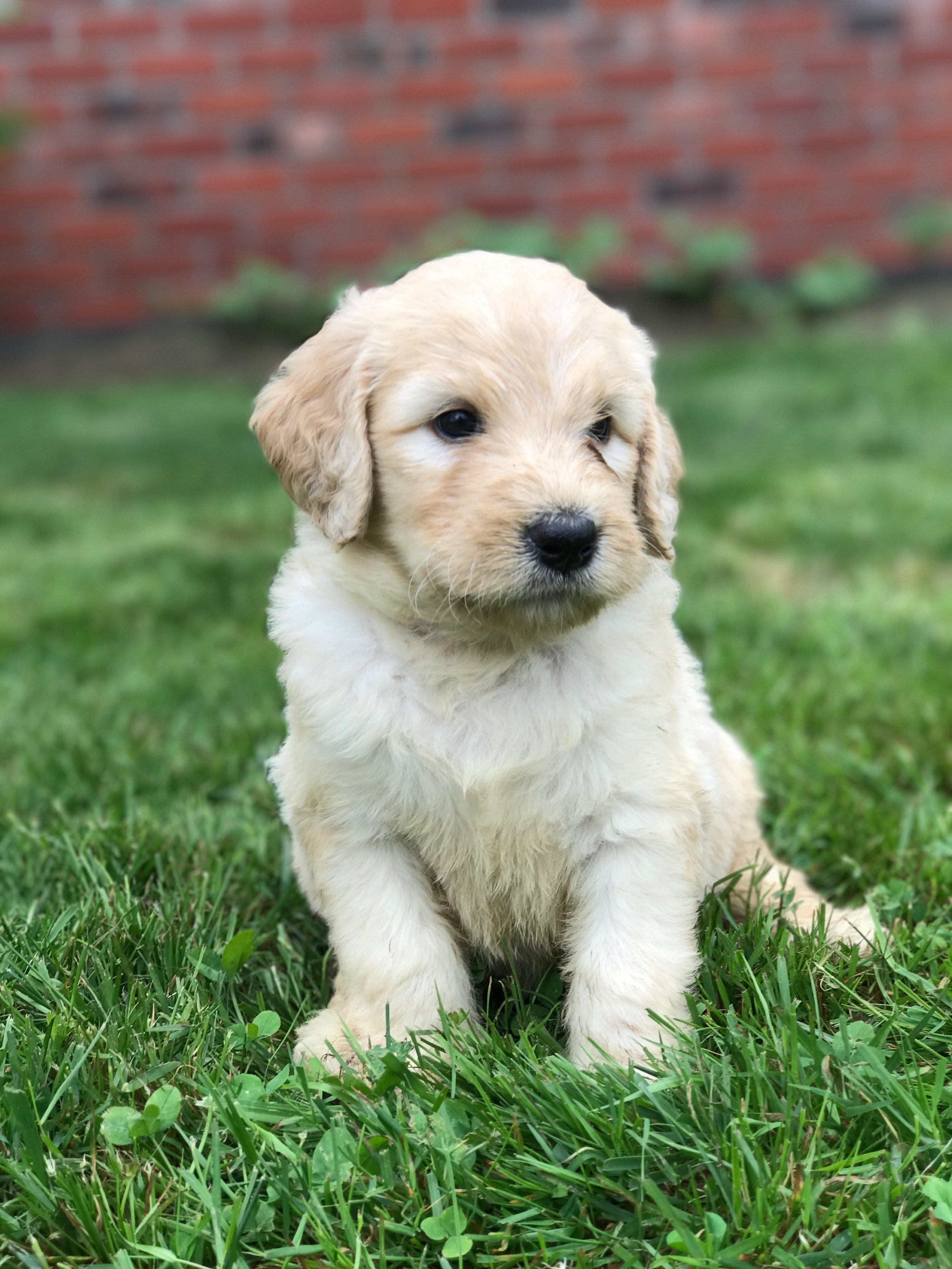 Golden Doodle puppies for sale-Evergreen DoodlesFAQ's