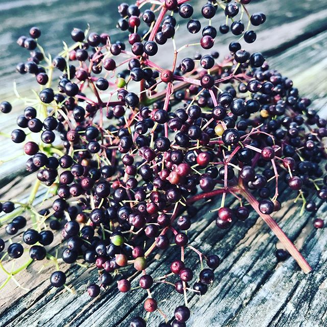 First elderberry harvest! #elderberry #wildedibles #naturesmedicine #foraging #wildeats #getoutside #foragesafely #canihavesomeofyourpurpleberries