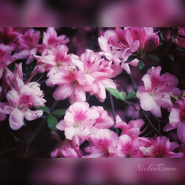 Live on coffee and flowers.... and just a little bit of chaos. 🖤🖤 • • • • • #nickierenee #photography #photo #naturephotography #photoart #flower #flowerphotography #pinkflowers #photocrap #pretty #prettyshit #canont6i #snapseed #artsyshit